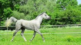 Semental de Asil Arabian que trota en la cerca