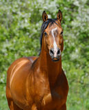 Semental de la bahía de la raza ucraniana del montar a caballo Foto de archivo libre de regalías