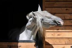 semental del caballo blanco en el establo Fotografía de archivo