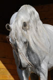 Semental del caballo blanco en el establo Fotografía de archivo libre de regalías