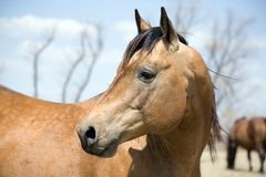 Semental del caballo cuarto Imagen de archivo libre de regalías