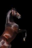 Semental del caballo de bahía que se alza encima de aislado Fotografía de archivo
