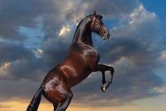 Semental del caballo de bahía que se alza para arriba Imágenes de archivo libres de regalías
