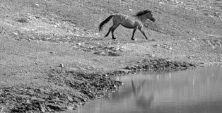 Semental del caballo salvaje que corre al lado del agujero de agua Fotografía de archivo libre de regalías