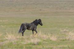 Semental del caballo salvaje fotografía de archivo libre de regalías