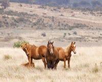 Semental del caballo salvaje y su manada Imagenes de archivo