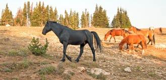 Semental del negro del caballo salvaje con su pequeña manada en la gama del caballo salvaje de las montañas de Pryor en Montana l Foto de archivo