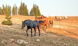 Semental del negro del caballo salvaje con su pequeña manada en la gama del caballo salvaje de las montañas de Pryor en Montana l Fotos de archivo