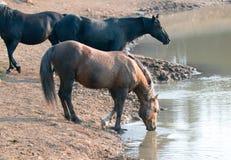Semental fuliginoso del Palomino que bebe en el waterhole con la manada en la gama del caballo salvaje de las montañas de Pryor e Foto de archivo