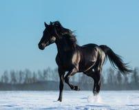 Semental negro español criado puro que trota en prado de la nieve Imagenes de archivo