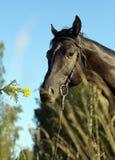Semental negro que huele la flor amarilla imágenes de archivo libres de regalías