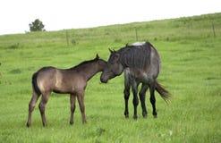 Semental y potro cuartos del caballo Foto de archivo libre de regalías