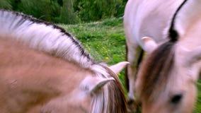 Semental y yegua hermosos del caballo del fiordo en hierba verde en pasto de la ladera almacen de video