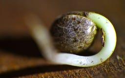 semente Imagem de Stock
