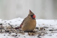 Semente cardinal fêmea do pássaro comer fotografia de stock royalty free