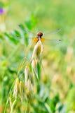 Semente da aveia da planta do cereal da semente (lat Aveia sativa) Fotos de Stock Royalty Free
