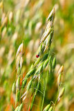 Semente da aveia da planta do cereal da semente (lat Aveia sativa) Imagens de Stock