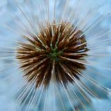 Semente da planta da flor do dente-de-leão foto de stock royalty free
