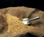 Semente da sementeira do trigo Imagem de Stock