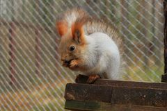 Semente de assento e de rachamento do esquilo vermelho em sua casa imagens de stock