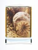 A semente de papoila dirige o polaroid Imagens de Stock Royalty Free