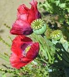 A semente de papoila dirige plantas das flores do verão Fotografia de Stock Royalty Free