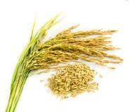 Semente do arroz 'paddy'. Fotos de Stock