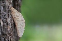 Semente do bordo na cortiça da árvore no parque Fotografia de Stock Royalty Free