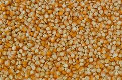 Semente do milho de campo Foto de Stock