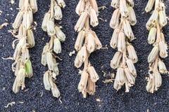 Semente e planta de sésamo Fotografia de Stock