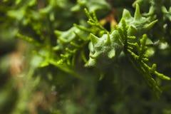 Semente estranha em um ramo de árvore Foto macro foto de stock