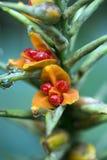 A semente luxúria do gengibre do kahili Foto de Stock Royalty Free