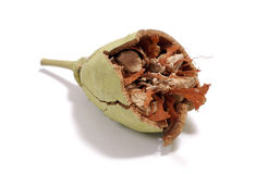 Semente quebrada do Baobab Imagem de Stock