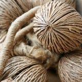 A semente secada do pong do pong (othalanga, árvore do suicídio) Fotos de Stock