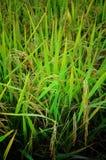 Semente tailandesa do arroz Imagem de Stock