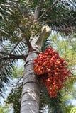 Semente vermelha e verde da palma foto de stock