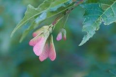 Sementes bonitas do bordo em ramos com folhas verdes Imagens de Stock