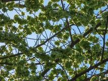 Sementes da árvore de olmo em um ramo de árvore na primavera com um céu azul, foto de stock royalty free