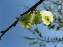Sementes da árvore de olmo em um ramo de árvore na primavera foto de stock royalty free
