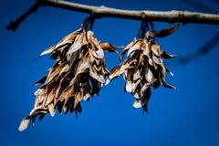 Sementes da cinza no inverno imagens de stock