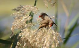 Sementes da colheita de Waxbills Imagem de Stock Royalty Free