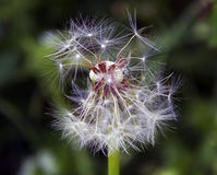 Sementes da erva daninha Fotografia de Stock Royalty Free
