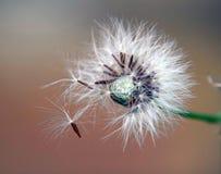 Sementes da erva daninha Imagem de Stock Royalty Free