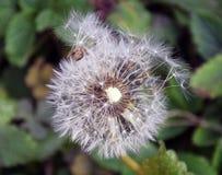 Sementes da erva daninha Foto de Stock