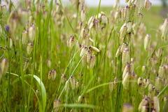 Sementes da grama Imagem de Stock