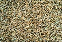 Sementes da grama de prado Foto de Stock