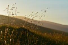 Sementes da grama em uma noite do verão Fotos de Stock Royalty Free