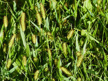 Sementes da grama verde imagens de stock