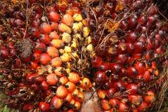 Sementes da palma na exploração agrícola Fotografia de Stock