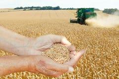 Sementes da posse das mãos do fazendeiro no campo de trigo Fotografia de Stock